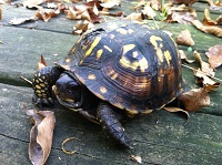 Box turtle 2 newsletter