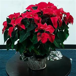 Poinsettia on a side table